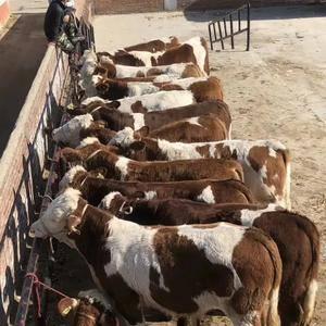 正宗西门塔尔小公牛