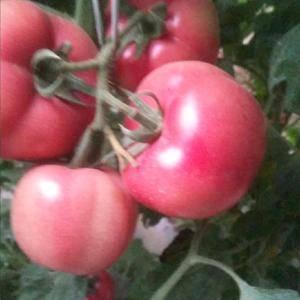 河北饶阳温室硬粉西红柿大量上市啦!欢迎新老朋友光临惠顾!