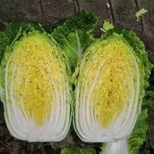 大量上市大棚新鲜黄心大白菜