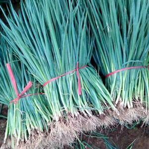 耐热、耐寒适合各个地区移栽