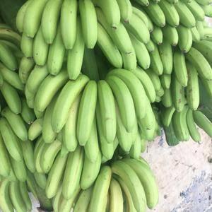 广西南宁千亩香蕉基地寻求合作,广西特产西贡蕉,小米蕉,香...