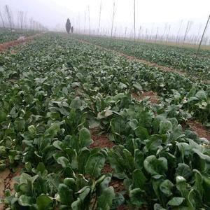 60亩菠菜批发,全过程无农药施加。100吨菠菜批发