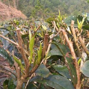 云南农家普洱茶自家茶园自产自销低价批发
