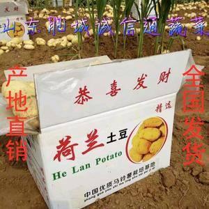 山东肥城土豆产区的荷兰十五土豆大量上市供应中,春季大棚新...