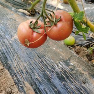 河北省张家口市蔚县西红柿,大量供应,每天可产一万斤左右!