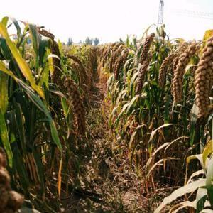 朝阳建平黄小米,旱田地种植,小米油丰富,米香浓厚,全国杂...