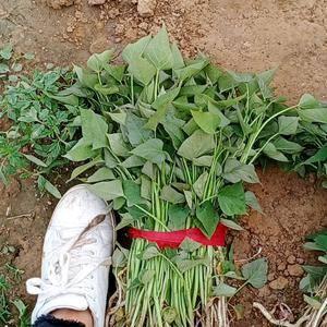 各种红薯苗,商薯19 西瓜红 烟薯25 13782294...