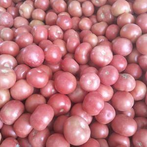 硬粉西红柿大量下货。