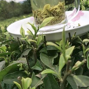自己种植的安吉白茶,海拔两千多米,人工采人工加工,全程无...