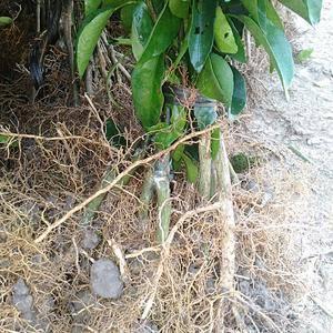 沃柑苗006756,沙糖桔20%、无核黄皮血石、各种优质靓苗想跟他,投产快本规则,收益快