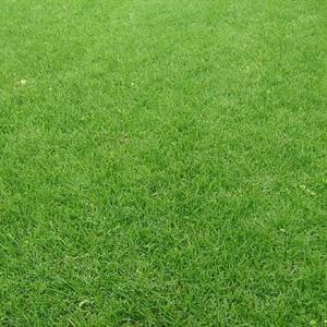 沙坪果岭草卷 优质草坪