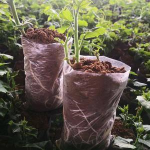 现在大量供应佛手瓜种苗,龙须菜种子,188 6624 2...