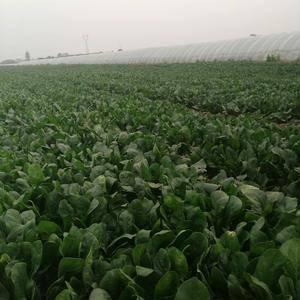 50亩无公害绿色食品日本圆叶菠菜大量上市有需要者联系,价...