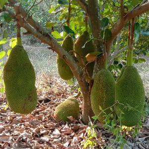 马来西亚1号菠萝蜜品种于马来西亚雪兰峨州引进。以产量高、...