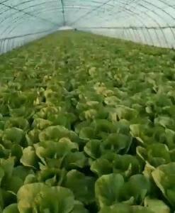 辽宁春棚黄心白菜以上市 货源充足品质第一 本人以多年丰富...