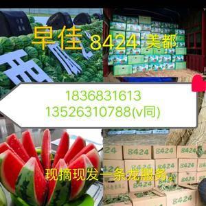 夏邑大棚西瓜8424美都麒麟瓜种植产地,大量上市供应实力...
