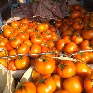 云南省弥勒市,西红柿大量上市,果硬量大,需要的老板联系我
