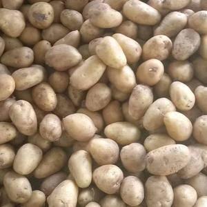 大量供应精品小土豆2-4和1-3适合出口加工厂,市场,边...