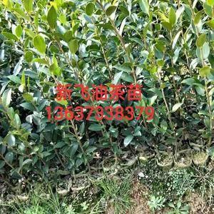 油茶苗是国家重点扶植农业造林之一,油茶苗具有较高的经济效...