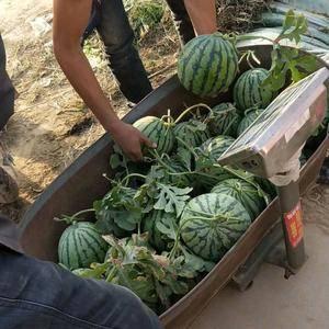 本基地大量早熟暖棚西瓜上市,品种有,京欣系列,甜王系列。...
