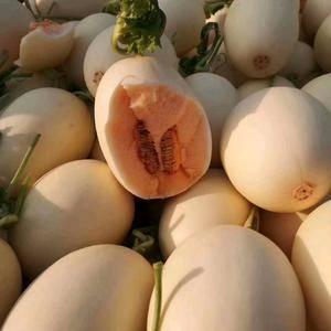 东方密大量上市中,头茬瓜,本品种皮毛光滑洁白,红肉,脆甜...