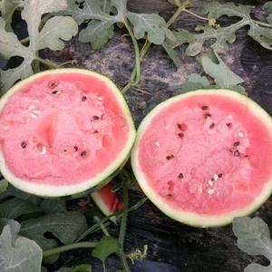 大量大棚西瓜上市了。品种有京欣甜王冠龙等