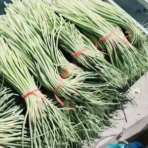 15254796948金乡杂交蒜苔大量上市了