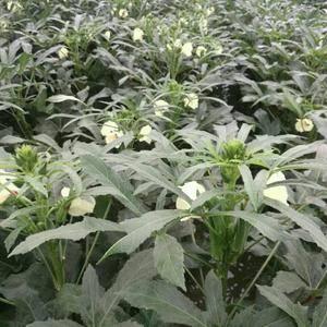黄秋葵种子,口感好,产量高,抗病毒性强,需要的联系我