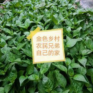 15254796948出售金凤凰朝天椒种苗
