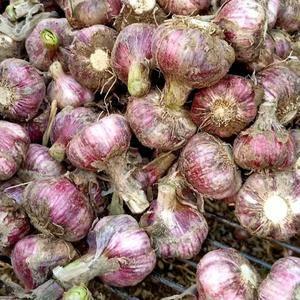 中牟优质大蒜、货量充足品质优量,把子,蒜头,173201...