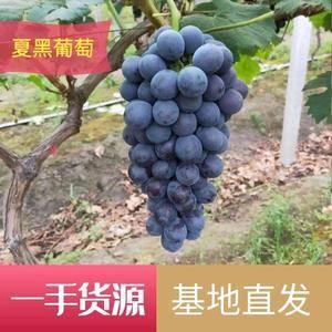江苏省万亩葡萄基地夏黑葡萄巨峰葡萄阳光玫瑰葡萄直供