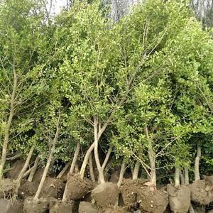 新沂市冬保花木有限公司海量供应各种规格小叶黄杨瓜子黄杨