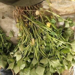 大量供应济薯26薯苗,全部冷棚育苗,保证成活率。基地供苗...