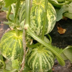 花蕾大量上市有采购花蕾的老板可以联系1876955020...