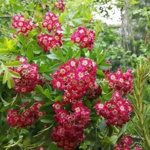 红花山楂苗,颜色漂亮!