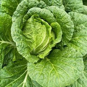 15872639959黄心大白菜,大量供应,保质保量,代...