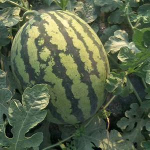 西瓜各种水果产区15991396181