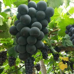 辽南精品巨峰葡萄大量上市了