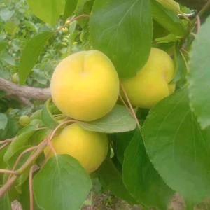陕西大荔凯特,金寿杏大量上市,个头大,颜色好,口感甜,