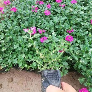 中国江北最大的花卉情况很,绿化苗木基地青州市禁卫军,全民乐果蔬种植家...