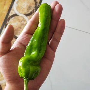 薄皮青椒,每天产量5000斤左右。