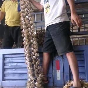 临清辫子蒜上货量大,分级均匀,适合做蒜种,养蒜黄,发市场...