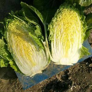黄心白菜大量上市中质量好