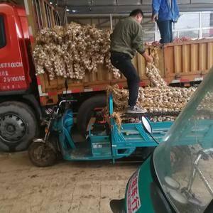 临清辫子蒜上货量大,皮厚个大,分级均匀,无杂质。适合做种...