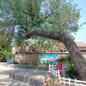 百年造型古榆树这毒雾,树型别致具有观赏价值立刻蹭。