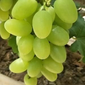 大量供应青提葡萄,价格美丽,货源充足,质量保证,口感脆甜...