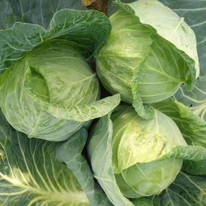 陕西省榆林市靖边县蔬菜上市欢迎采购