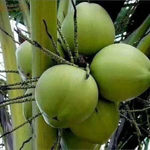 海南文昌椰子