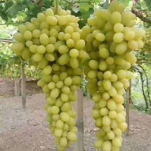 新疆吐鲁番火焰山下成熟的无核白葡萄,糖分极高。欢迎全国各...