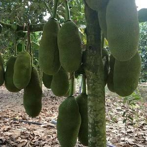 海南三亚保亭菠萝蜜产地一手货源批发,量大价格优惠,欢迎各...